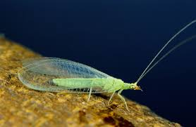 Green-Lacewing