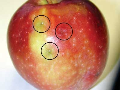 Images of Fruit Fly Eggs Apple - industrious info