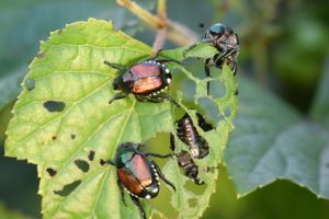 The Japanese beetle is a serious pest