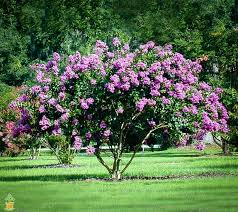 Everyone loves the Crape Myrtles